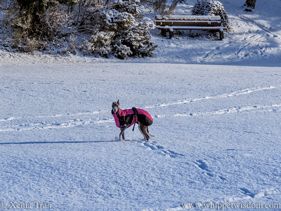 a blue and white whippet in a winter jacket walking through deep snow