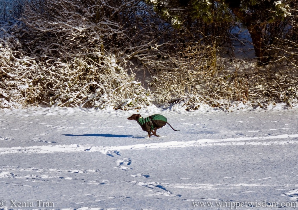a black whippet in a winter jacket zooming through the snow