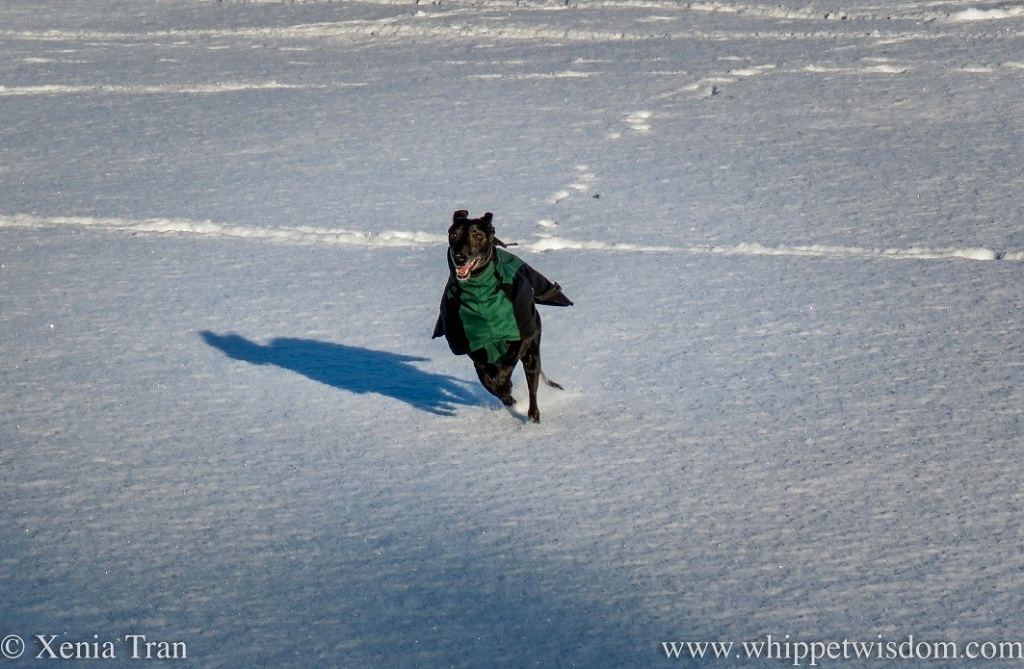 a smiling black whippet in a winter jacket zooming through fresh snow