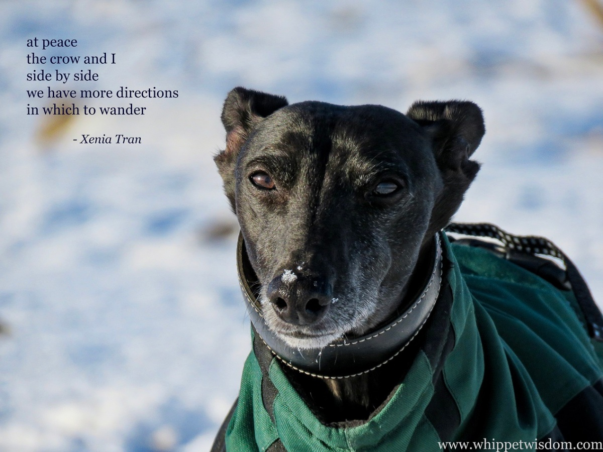 a tanka poem by Xenia Tran with a close up of a black whippet in a winter jacket in the snow