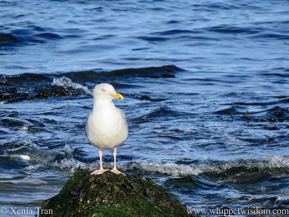 a mature herring gull standing on a seaweed-covered rock