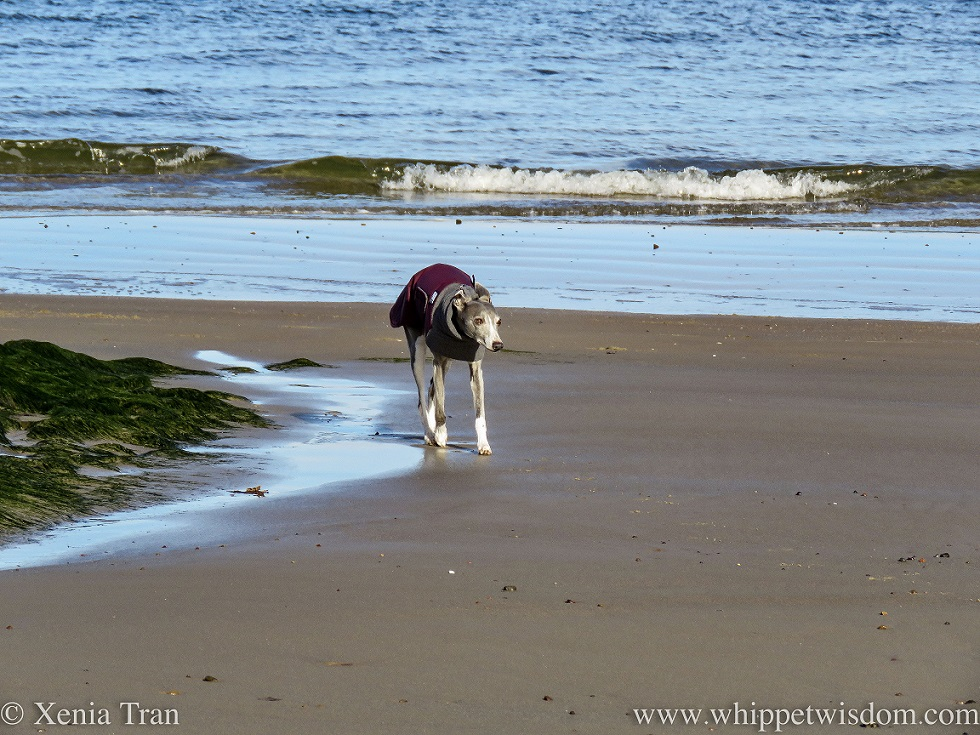 a blue and white whippet in a winter jacket walking on the beach