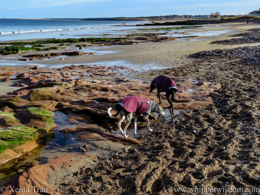 two whippets in winter jackets walking across a tidal beach
