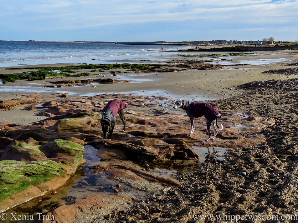 two whippets in winter jackets on a tidal beach with rocks