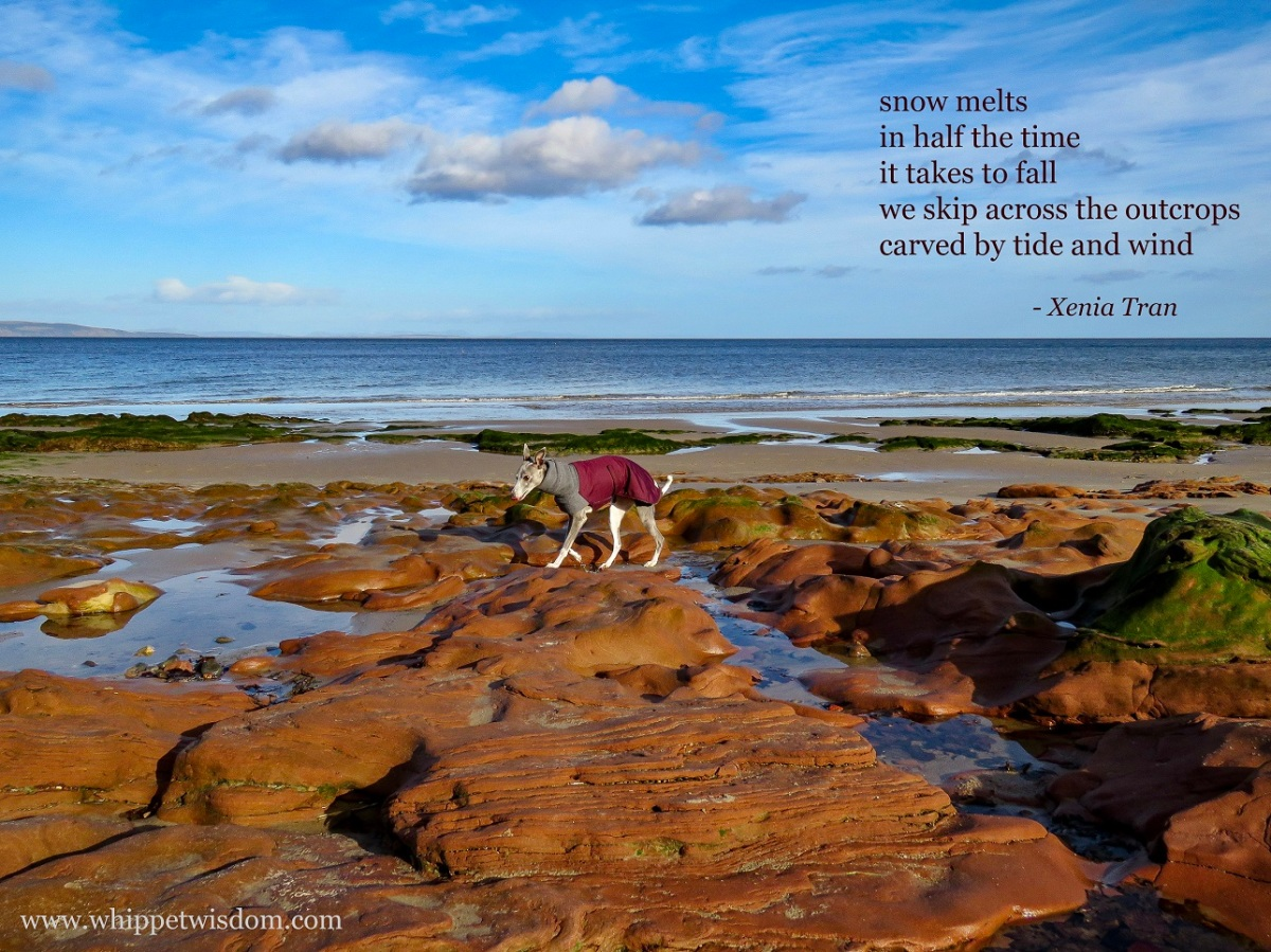 tanka poem by Xenia Tran paired with an image of a whippet in a winter jacket walking across outcrops at low tide