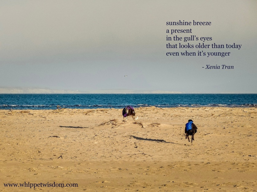 tanka poem by Xenia Tran with an image of two whippets playing on the beach