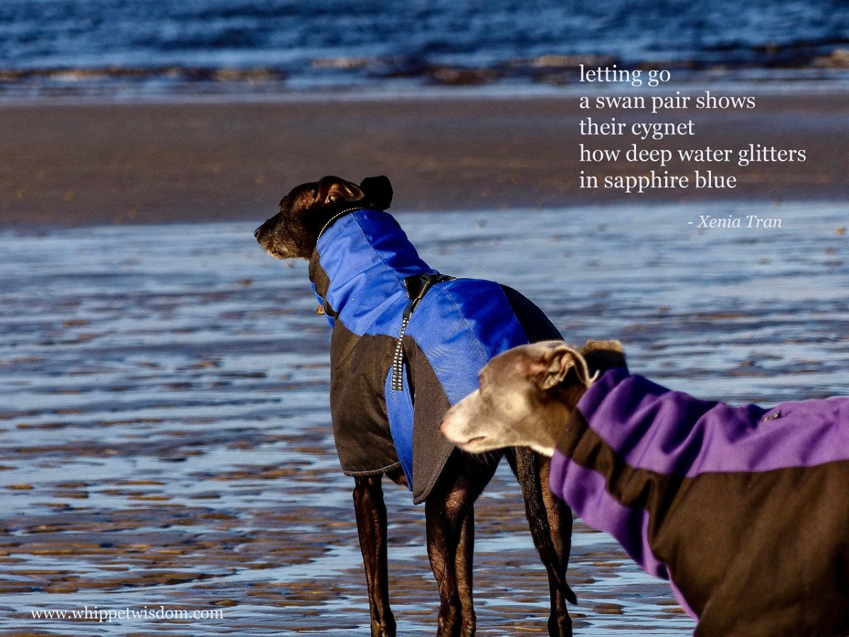 tanka poem by Xenia Tran with an image of two whippets in winter jackets on tidal sands looking out across the lagoon