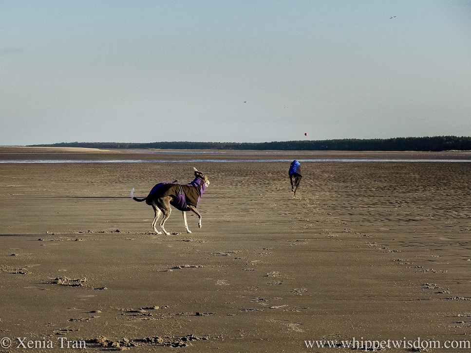 two whippets in winter jackets on the beach, one of them chasing a ball