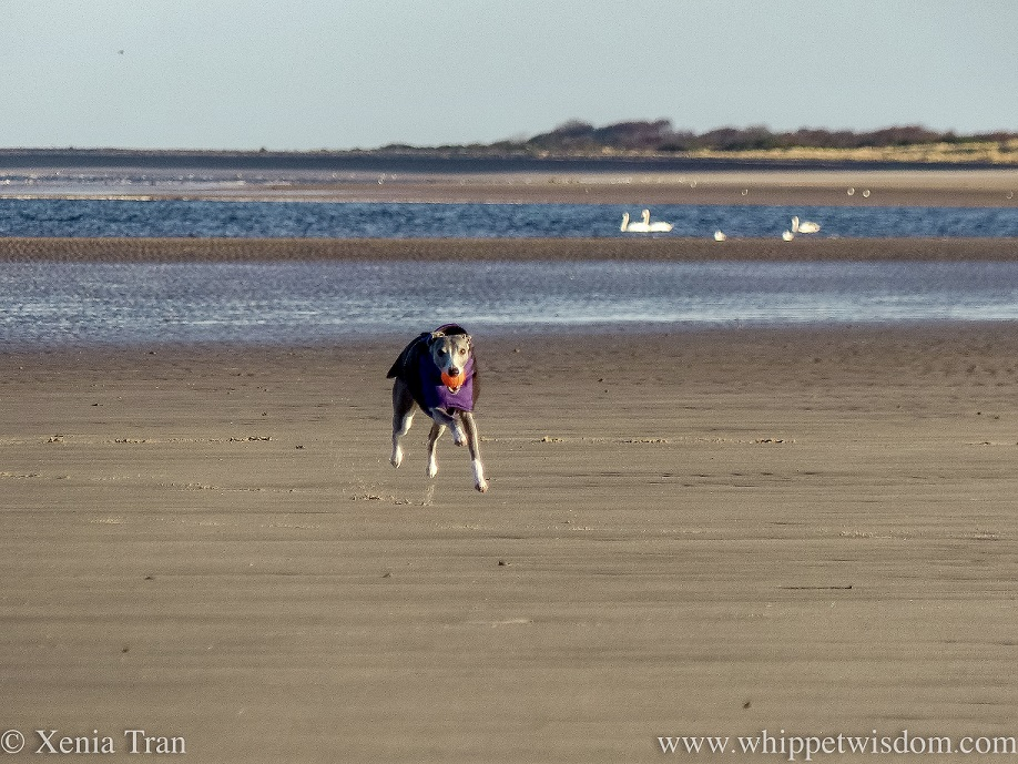 action shot of a whippet in a winter jacket running on the beach