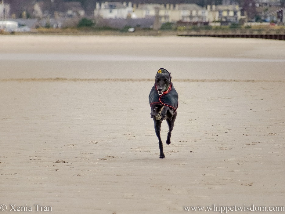 a smiling black whippet leaping across the beach