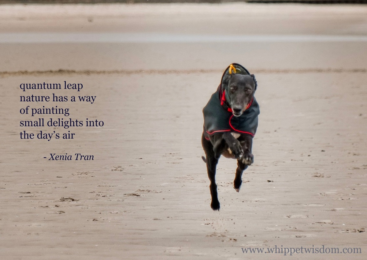 a tanka poem by Xenia Tran with a flying black whippet in a black rain coat soaring across the tidal sands