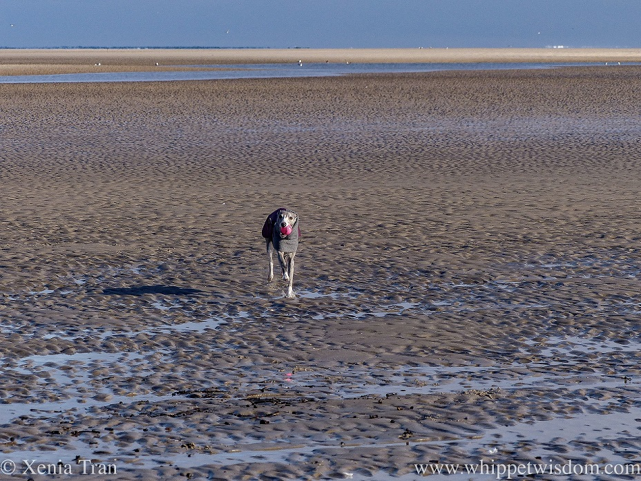 a blue and white whippet running across tidal sands with pink ball