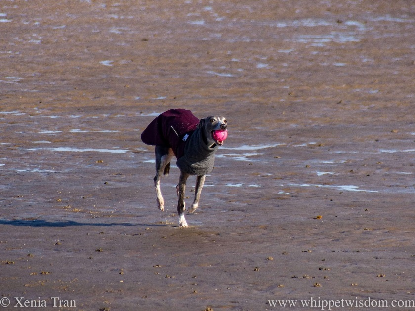 a blue and white whippet running with a ball on tidal sands