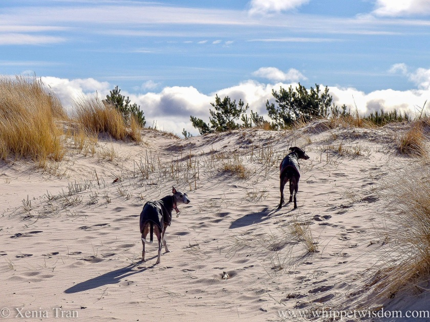 two whippets in black jackets walking in the dunes