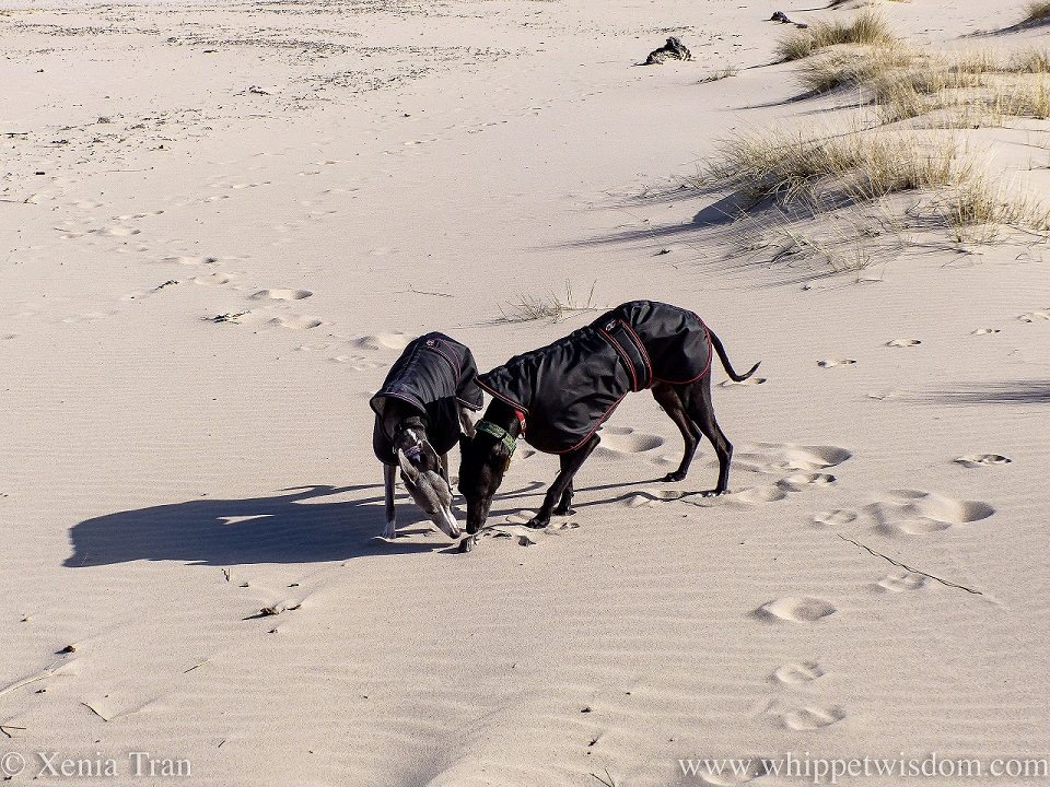 two whippets in black jackets sniffing driftwood on the beach