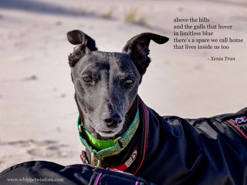 Tanka poem by Xenia Tran paired with a close up of middle aged black whippet in a black jacket on the beach
