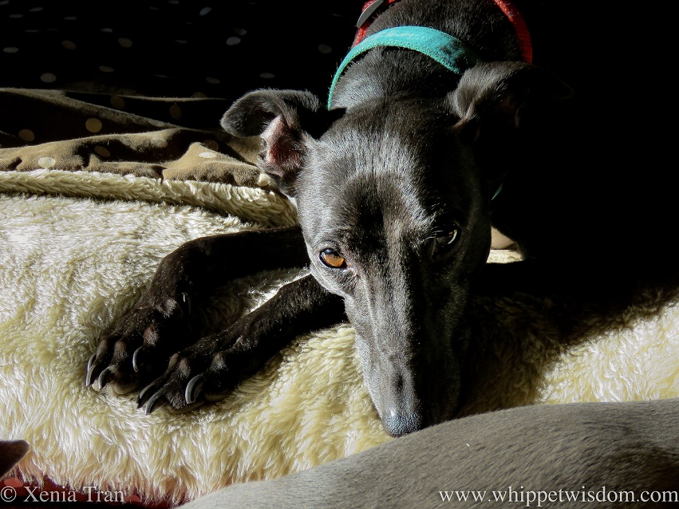 close up of a black whippet resting on a dog bed
