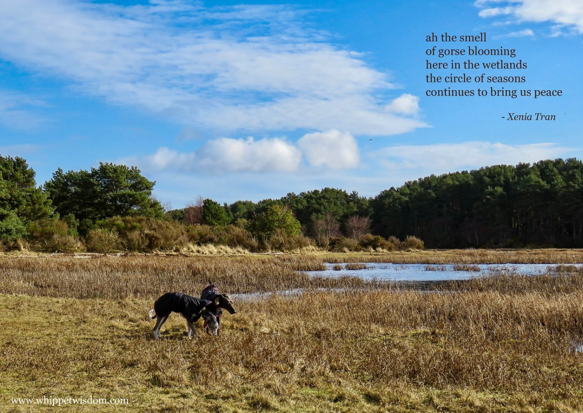 tanka poem by Xenia Tran with two whippets in spring wetlands