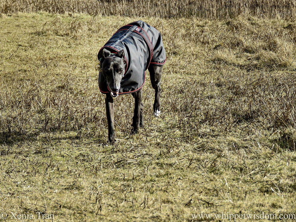 a smiling whippet in a black jacket walking across dry grass