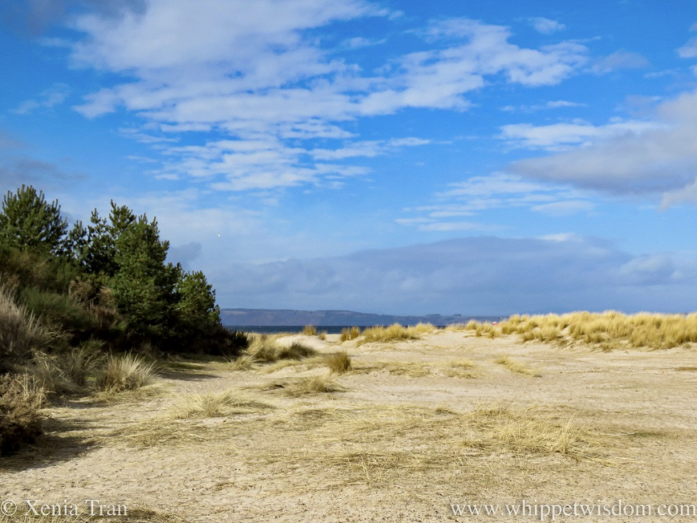 sand dunes with marram grass and pine under a blue sky with light cloud