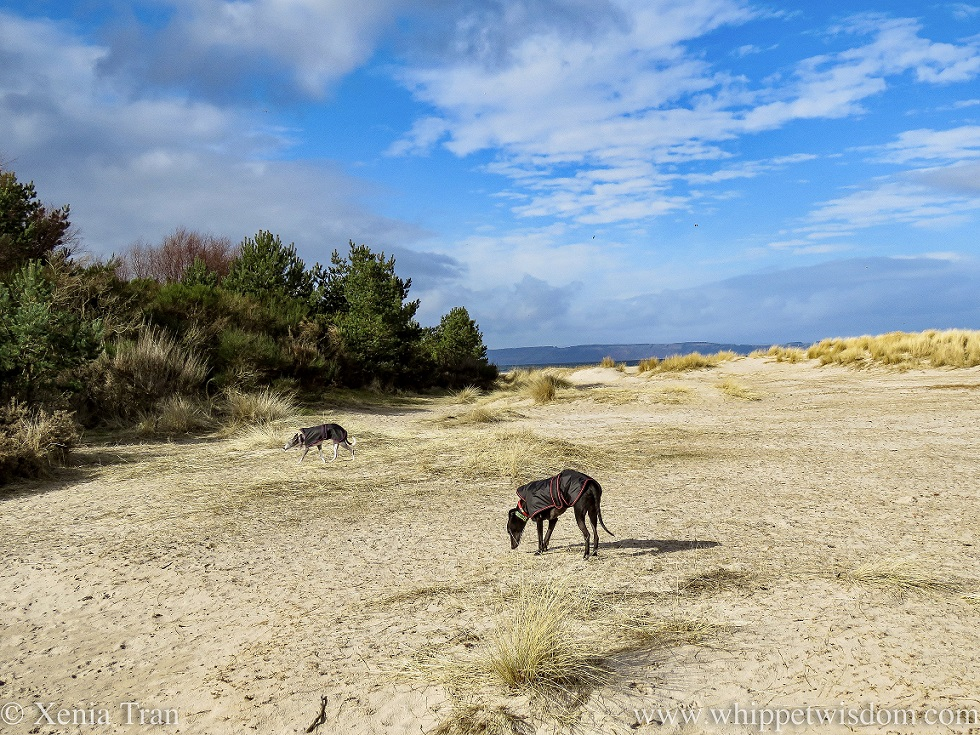 two whippets in black jackets walking through the dunes