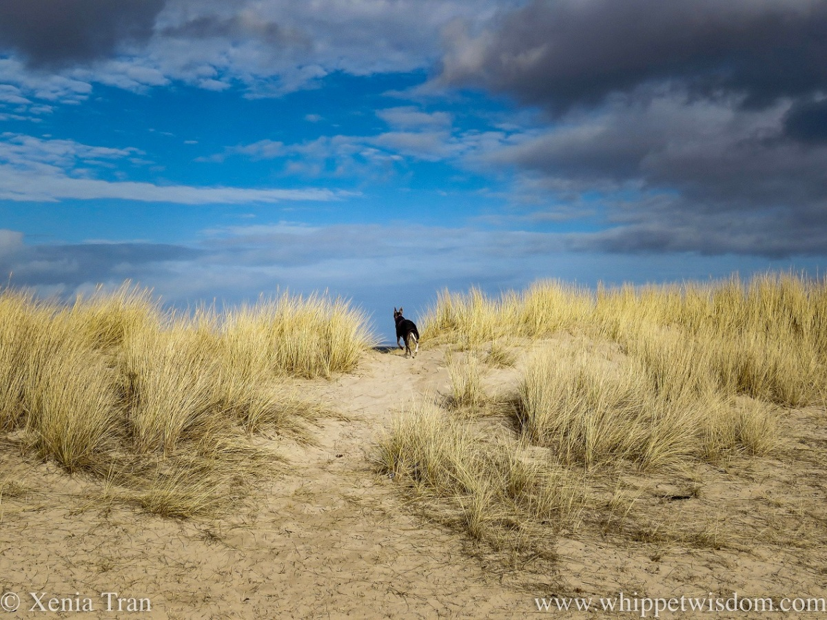 a whippet in a jacket running to the top of the dunes