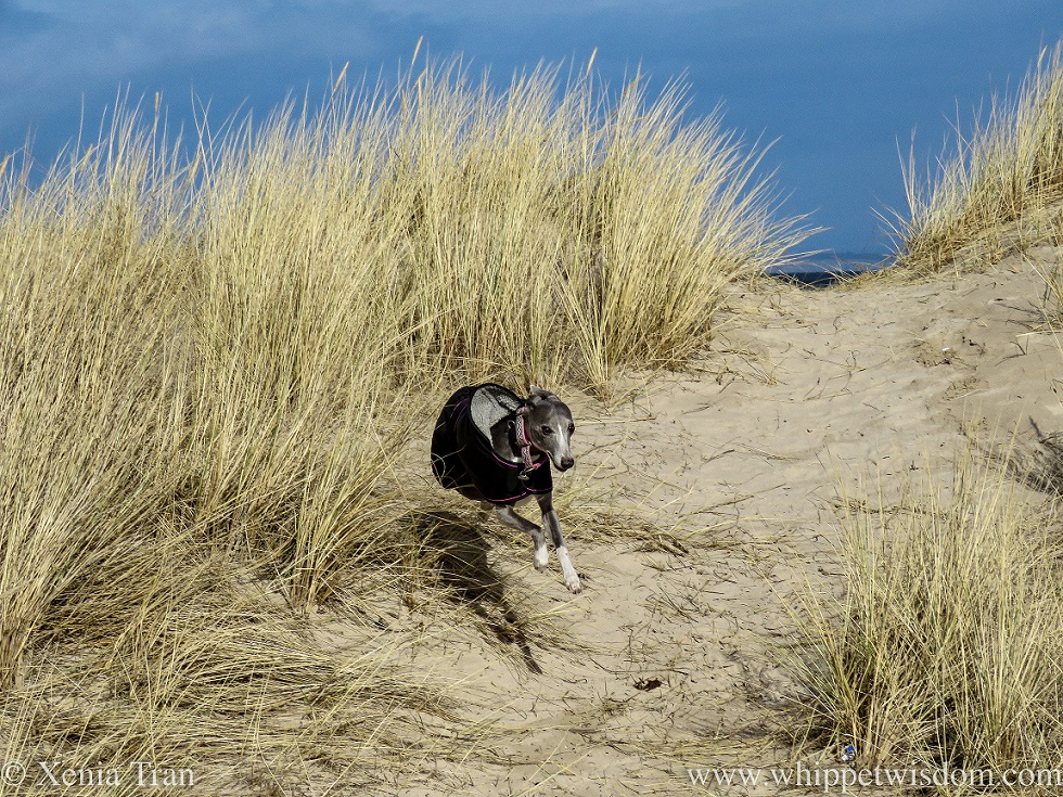 a smiling blue and white whippet running through the dunes