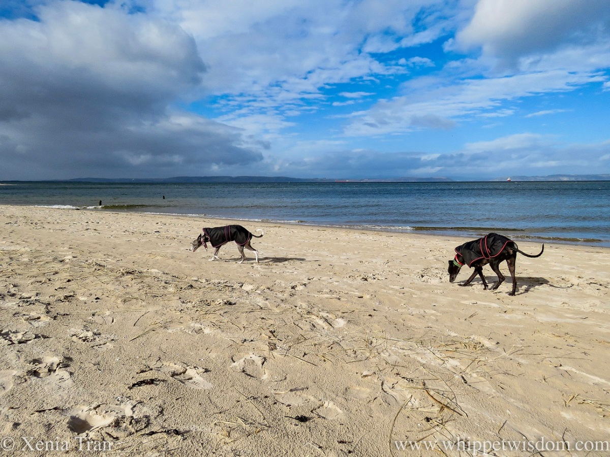two whippets in black jackets walking across a narrow beach
