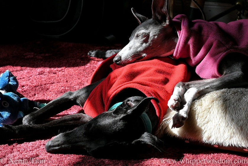 two whippets in coloured fleeces snoozing in the sun