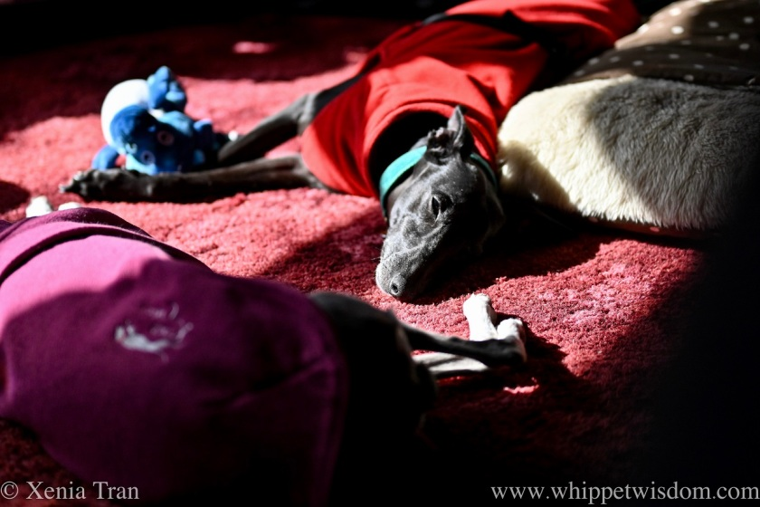 a black whippet in a red fleece sunpuddling on the carpet next to a dog bed