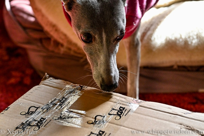 a blue and white whippet sniffing a cardboard box from Sala Muzik