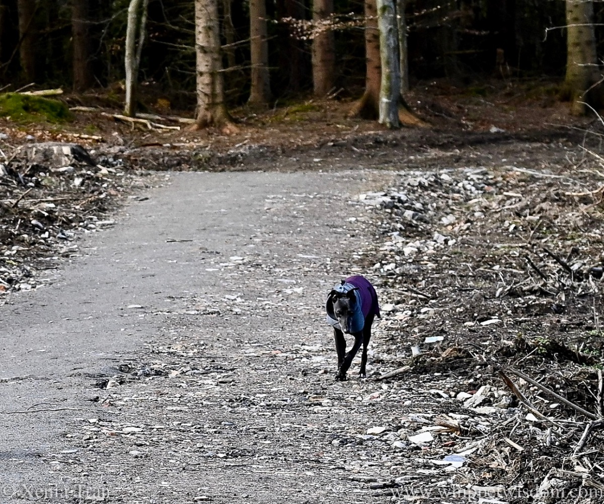 a black whippet in a winter jacket walking past an area with felled trees