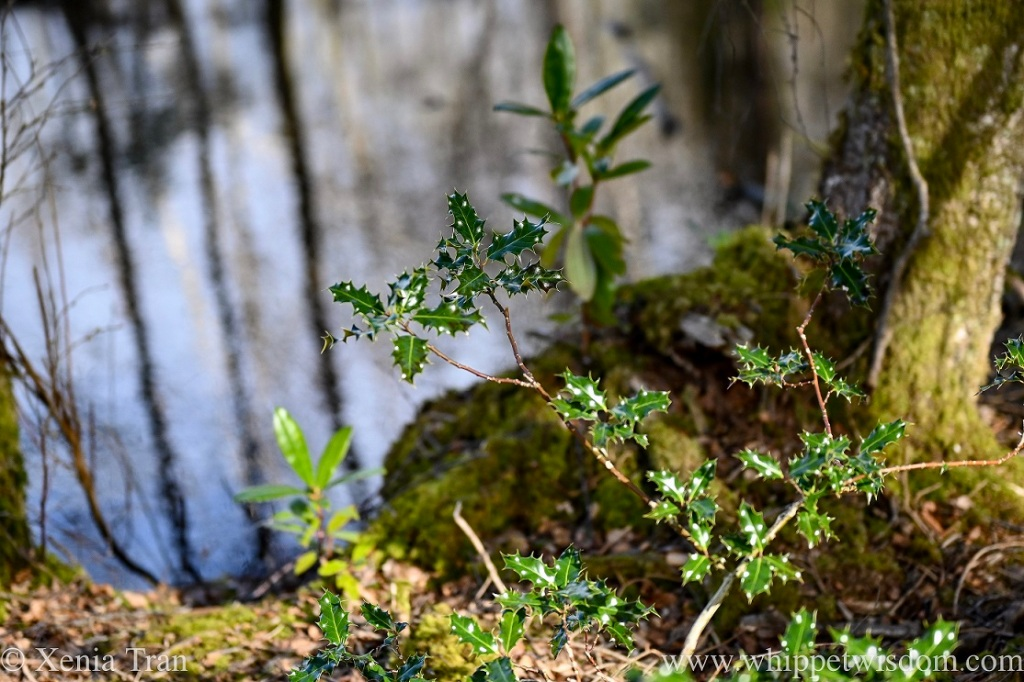 close up of a young holly growing beside a pond