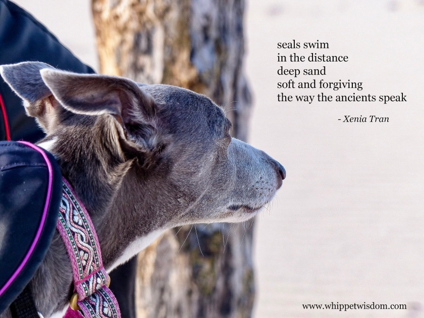 tanka poem by Xenia Tran beside a close up of a blue and white whippet looking into the distance