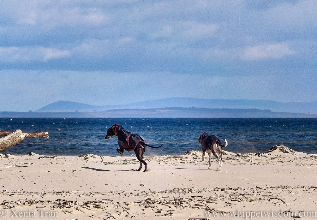 two whippets in black jackets leaping and running towards the sea