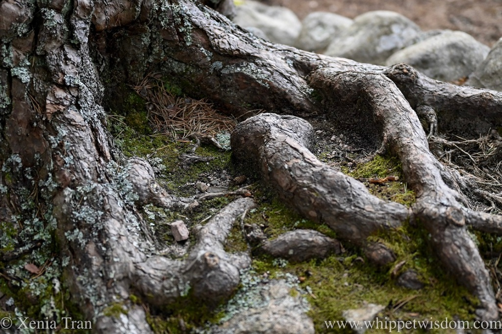 close up shot of the exposed roots of an ancient pine