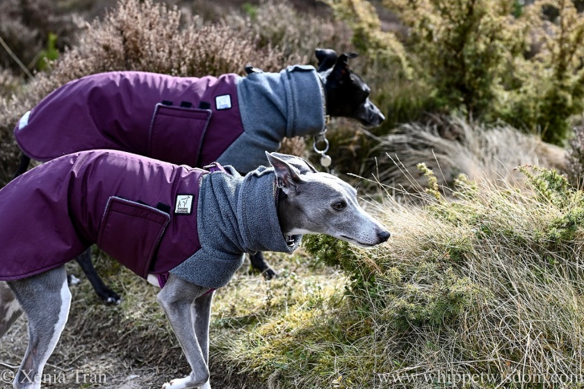two whippets in winter jackets side by side on a forest trail