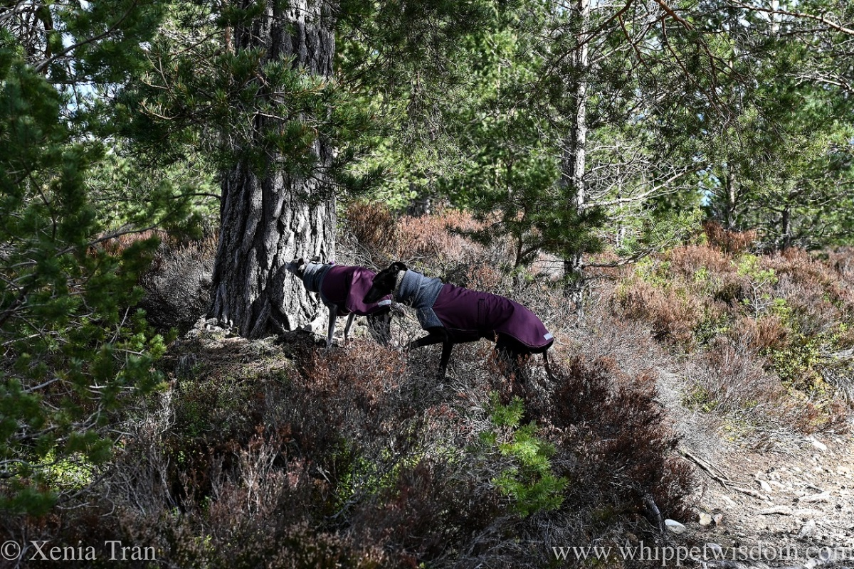 two whippets in winter jackets beside and ancient pine in the forest