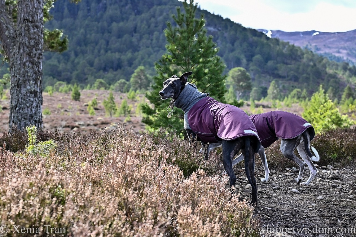 two whippets in winter jackets on a heather-covered hillside