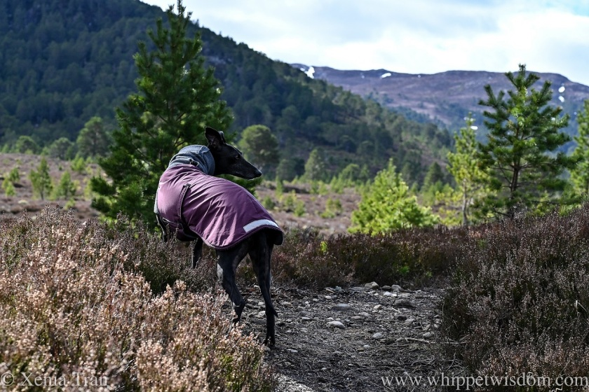a black whippet in a fleece jacket on a mountain trail
