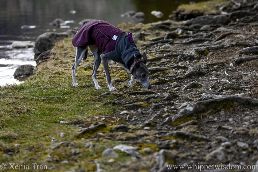 a blue and white whippet in a winter jacket sniffing the earth between the roots of a tree
