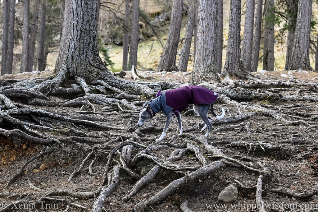 a blue and white whippet in a winter jacket climbing over the roots of pine