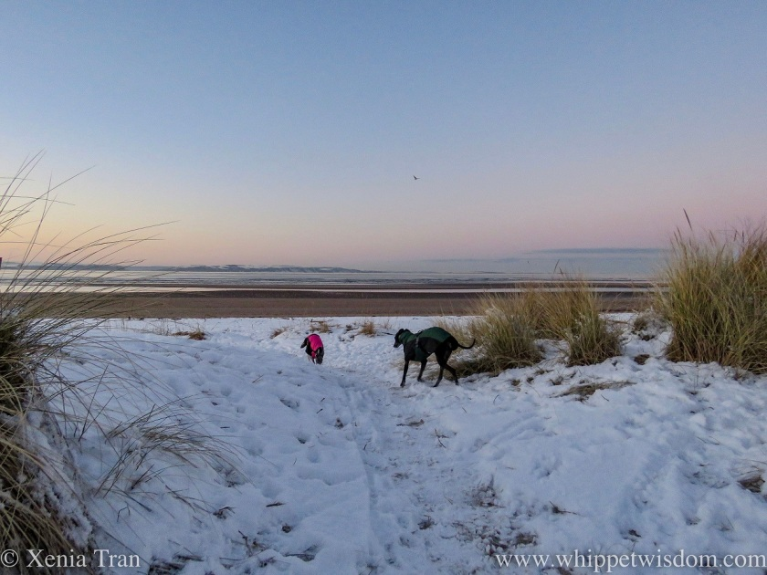 two whippets in winter jackets running through snow towards the beach at dusk