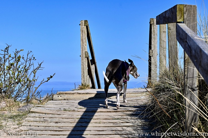 a smiling blue and white whippet on a boardwalk across the dunes