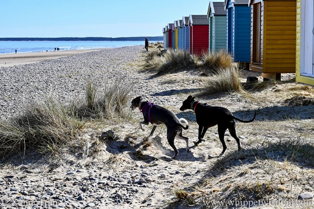 two whippets running towards the beach beside a row of beach huts