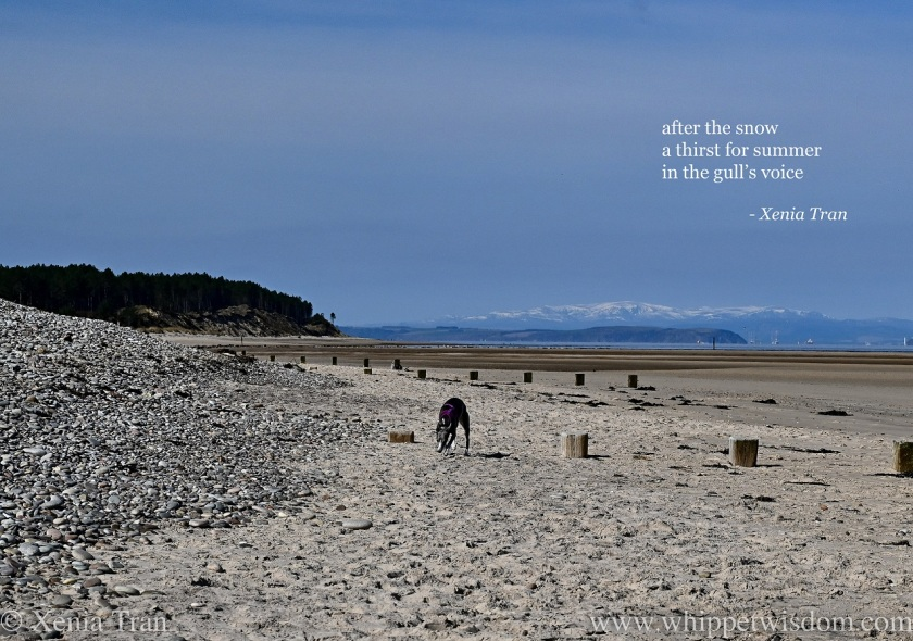 a haiga by Xenia Tran featuring a blue and whippet on the beach