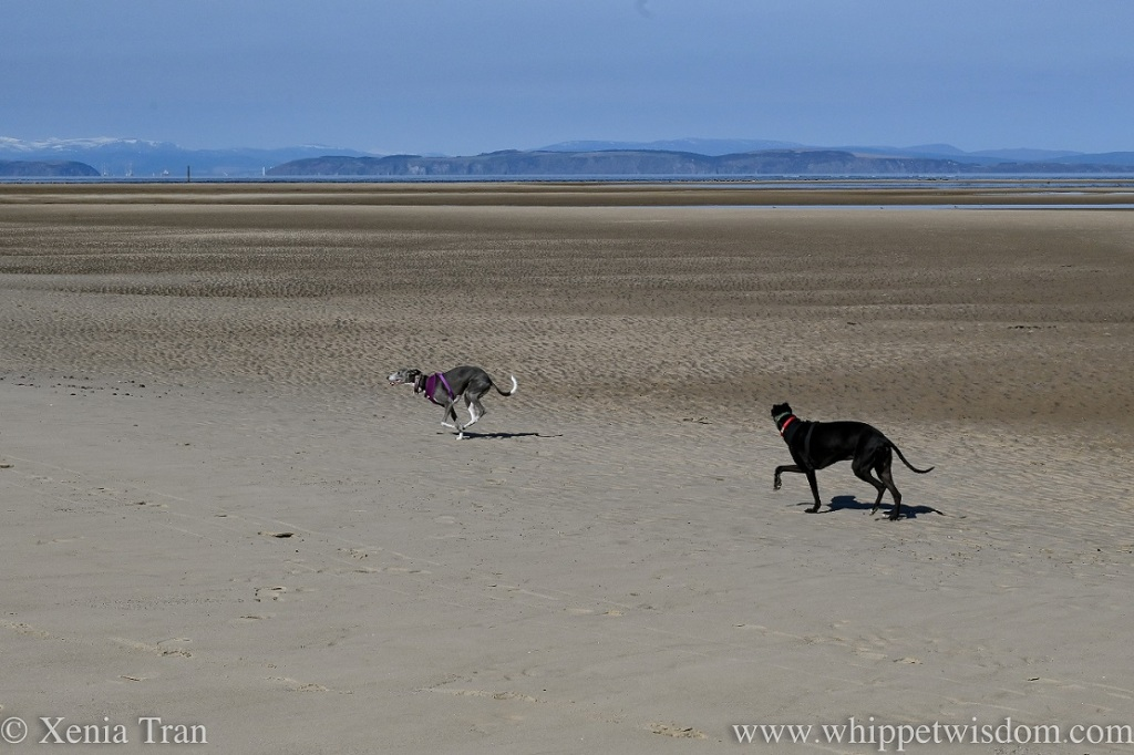 two whippets running on a wide tidal beach