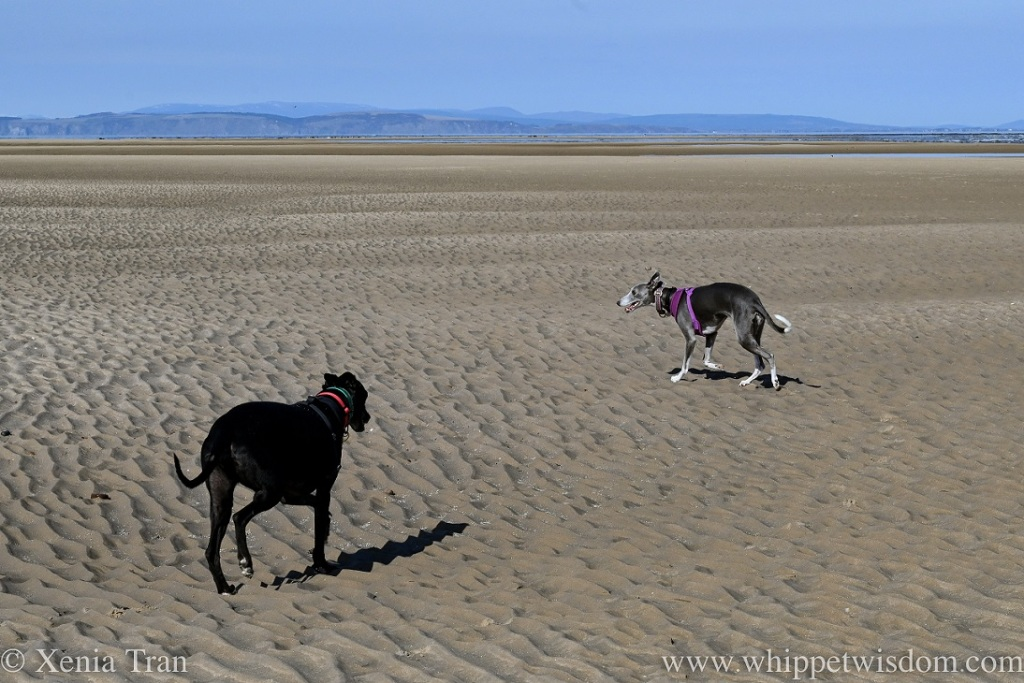 two whippets on a wide beach at low tide