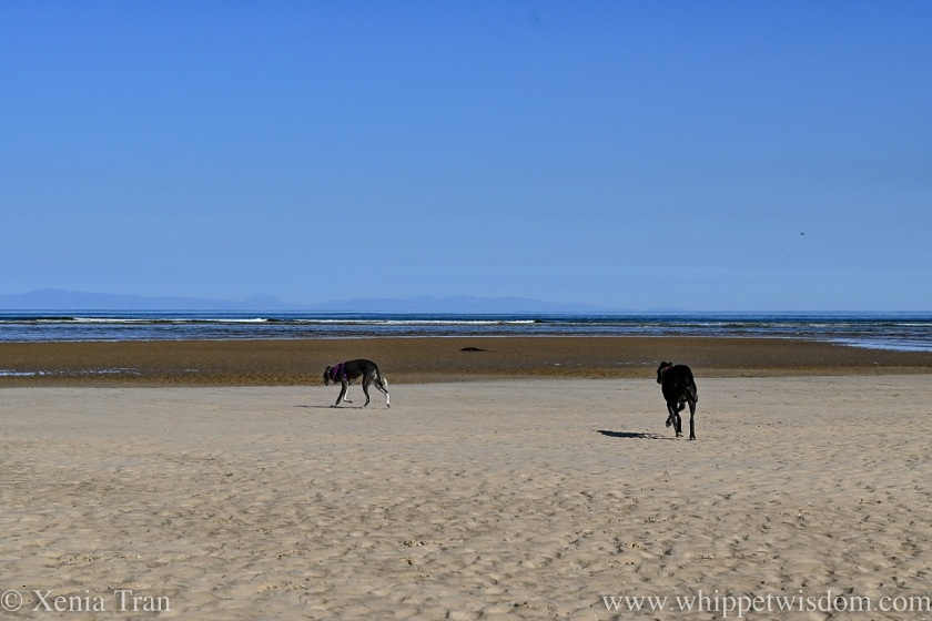 two whippets walking along tidal sands towards the shoreline
