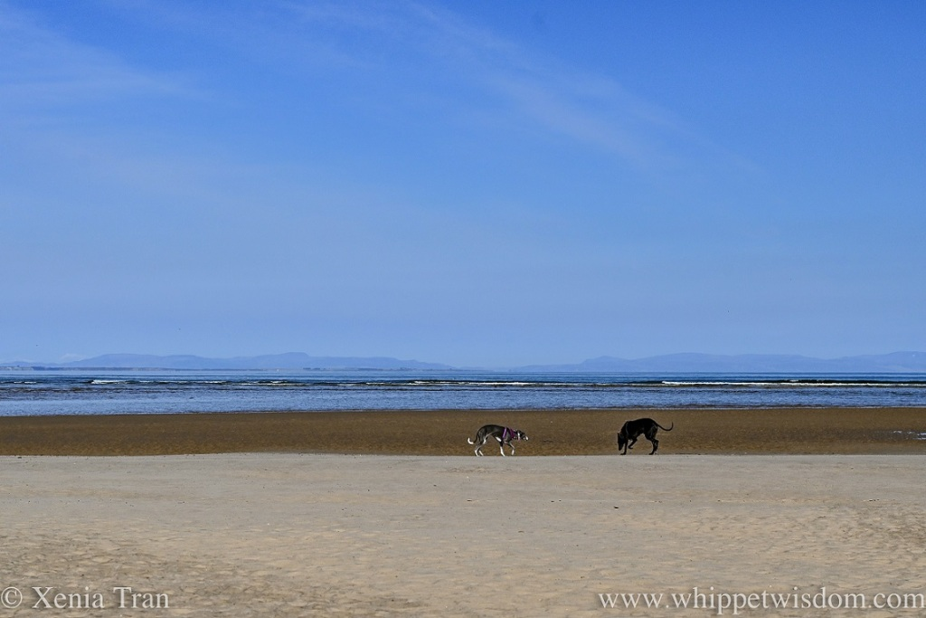 two whippets on tidal sands with the tide retreating